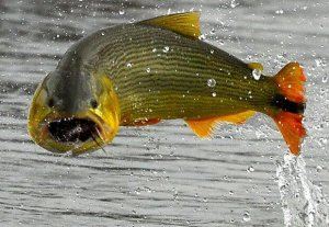 Comenzó la veda para la pesca del dorado, hasta el 31 de diciembre