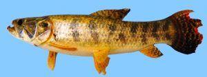cientificos-del-conicet-y-expertos-de-ecologia-descubren-nueva-especie-de-pez-en-misiones